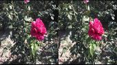 Прогулка по ботаническому саду ТНУ в 3D (часть 1) Горизонтальная анаморфная